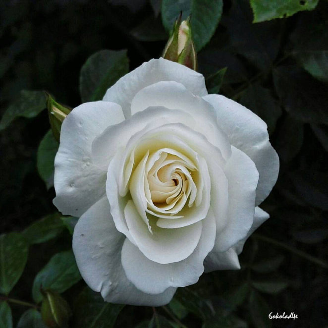 How Much Do You Know About Roses?