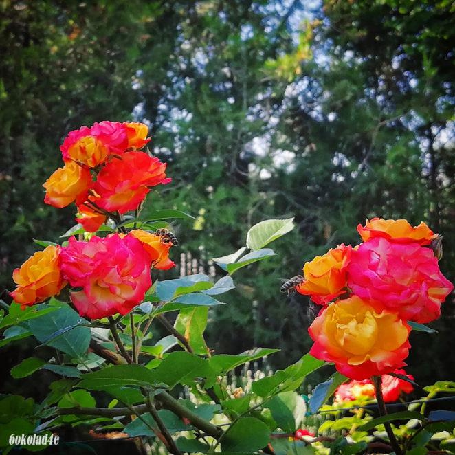 In The Rose Garden