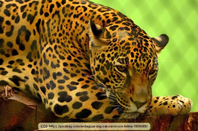 Perfect Interesting Information About Jaguars   Virily